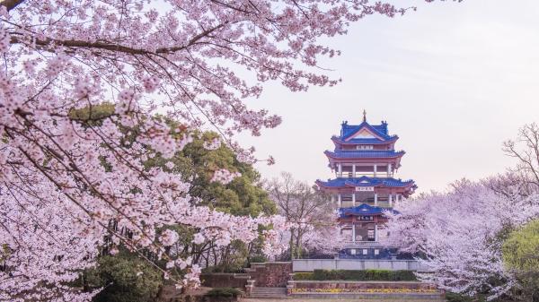 樱花带给人们的固然是美,除了美,还有对生命的领悟。
