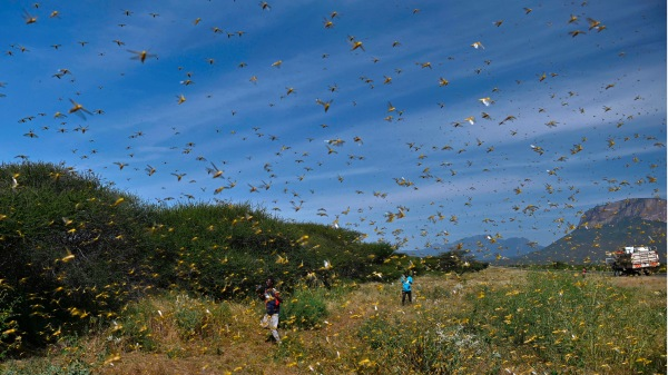 數千億只蝗蟲即將入侵中國。
