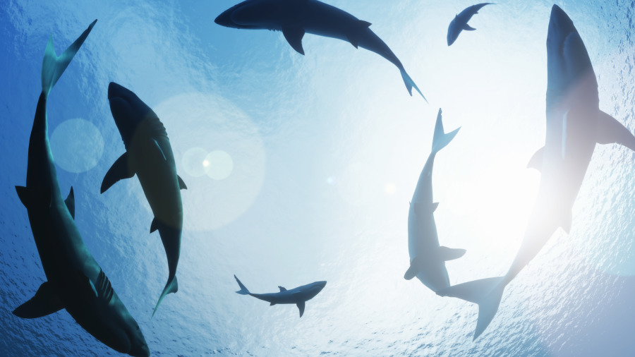 有人有看过鲨鱼的超音波吗?