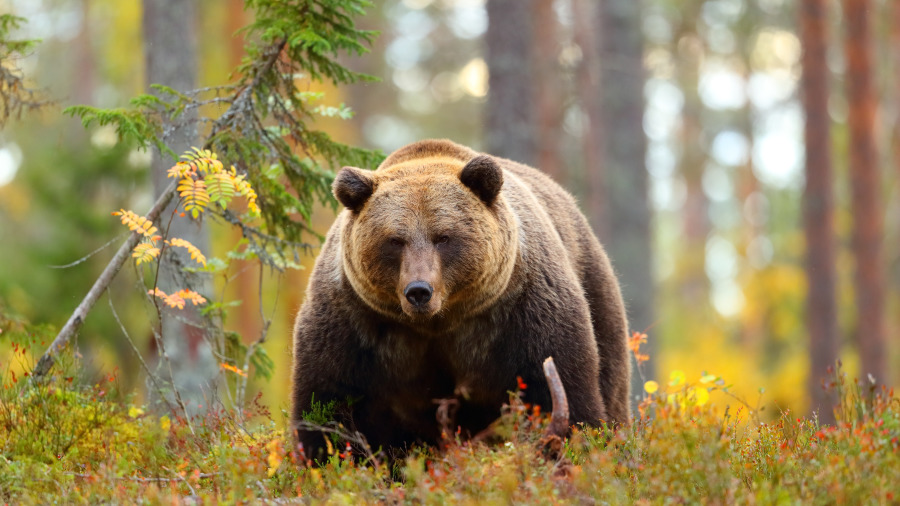 她意外受到母熊襲擊,熊居然把她埋了起來。