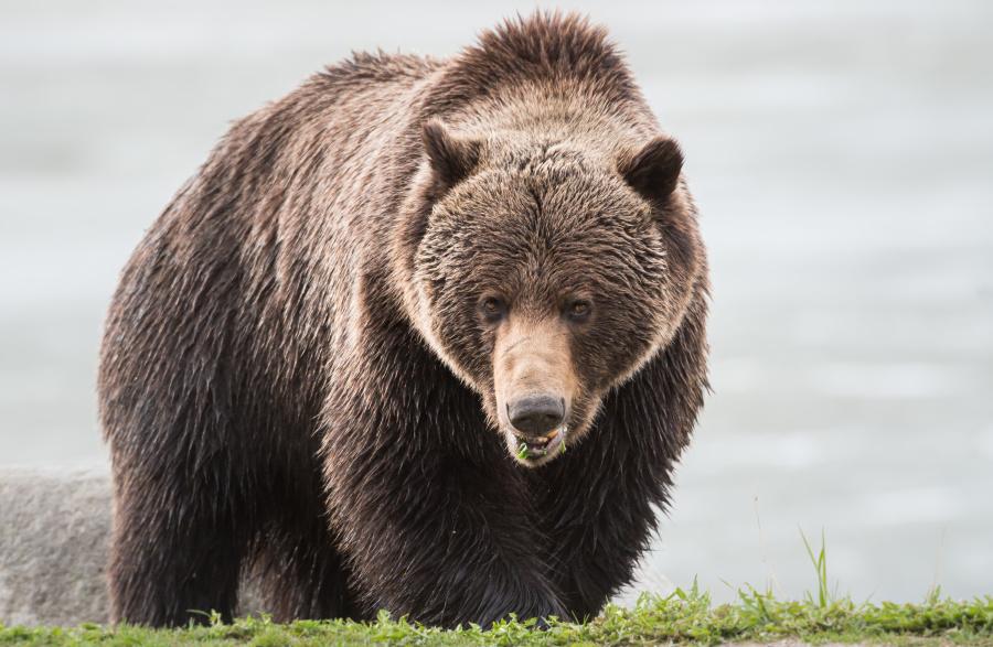 遇到熊时最首要的是保持镇静。
