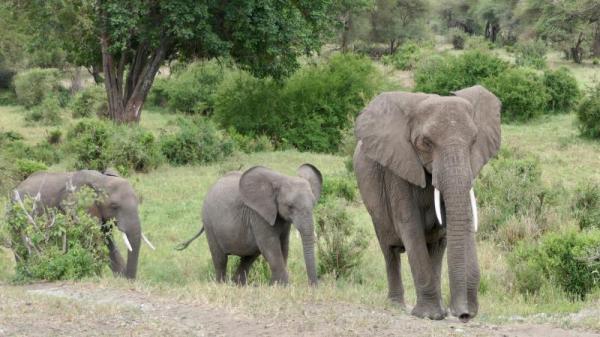 受伤的大象会寻找一些含碱的沙子给自己的伤口消毒。