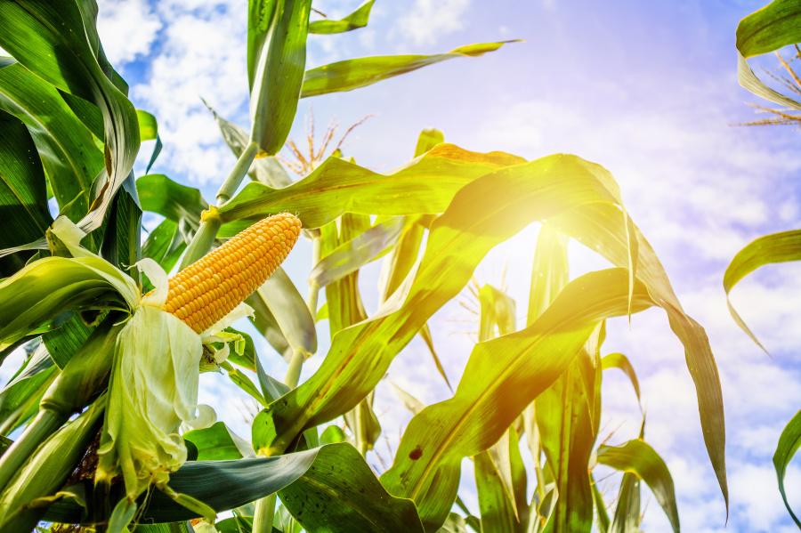 玉米可提煉成高果糖玉米糖漿。
