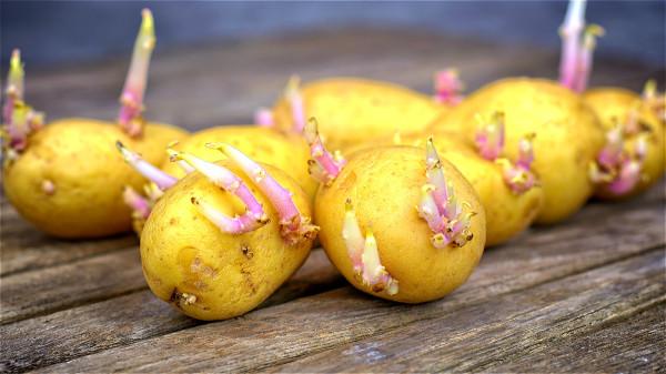 服用發芽的、含龍葵鹼較多的土豆,恐因吸收過量的龍葵鹼而引起中毒。