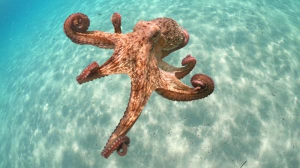 章魚如此聰明 進化論無法解釋