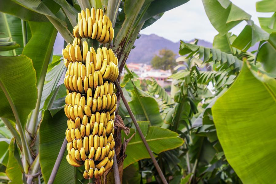香蕉在剛長出來時是直的,為了得到更多的陽光照射而變得彎曲。