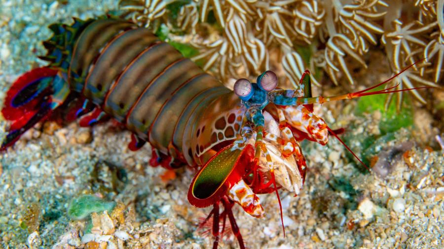 蝦蛄又被稱為螳螂蝦,性情凶猛殘暴。